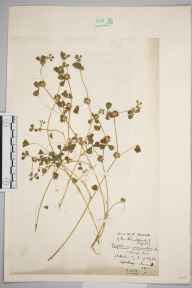 Trifolium glomeratum herbarium specimen from Saint Helen's, VC10 Isle of Wight in 1923 by Marjorie Woolley Bostock.