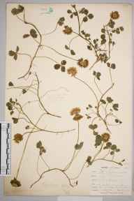 Trifolium repens herbarium specimen from Kynance, VC1 West Cornwall in 1899 by Mr Allan Octavian Hume.