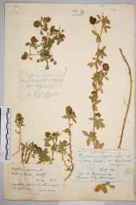 Trifolium agrarium herbarium specimen from Witley, VC17 Surrey by Rev. Edward Shearburn Marshall.