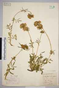 Anthyllis vulneraria herbarium specimen from Dunstable, VC30 Bedfordshire in 1894 by S A Chambers.