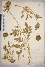 Anthyllis vulneraria herbarium specimen from Flushing, VC1 West Cornwall in 1901 by Mr Frederick Hamilton Davey.