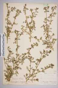 Coronopus didymus herbarium specimen from Lizard, VC1 West Cornwall in 1899 by Mr Allan Octavian Hume.