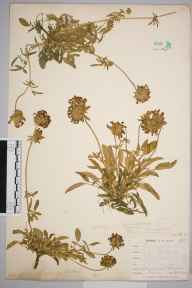 Anthyllis vulneraria var. coccinea herbarium specimen from Newquay, VC1 West Cornwall in 1900 by Mr Frederick Hamilton Davey.
