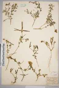 Lotus corniculatus herbarium specimen from Twycross, VC55 Leicestershire in 1843 by Mr Frederick Townsend.