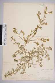 Coronopus didymus herbarium specimen from Torquay, VC3 South Devon in 1858 by Mr Frederick Townsend.