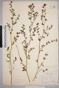 Lotus glaber herbarium specimen from Bissoe, VC1 West Cornwall in 1899 by Mr Frederick Hamilton Davey.