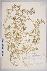 Coronopus didymus herbarium specimen from Ranmore Common, VC17 Surrey in 1963 by Peter Charles Holland.