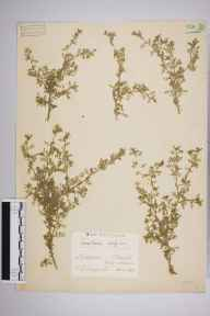 Coronopus didymus herbarium specimen from Chiswick, Duke's Meadows, VC21 Middlesex in 1939 by Edward Benedict Bangerter.