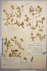 Astragalus alpinus herbarium specimen from Little Craigandal [Creag an Dail Bheag], VC92 South Aberdeenshire in 1869 by Dr John Roy.