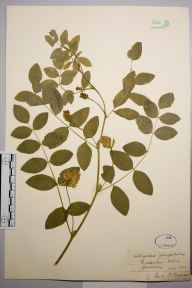 Astragalus glycyphyllos herbarium specimen from Hildenley Wood, VC62 North-east Yorkshire in 1843 by Mr Henry Ibbotson.