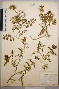 Coronilla varia herbarium specimen from Par Harbour, VC2 East Cornwall in 1901 by Mr Allan Octavian Hume.