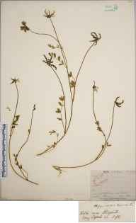 Hippocrepis comosa herbarium specimen from Steephill, VC10 Isle of Wight in 1844.