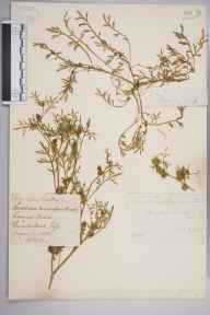Coronopus squamatus herbarium specimen from Burstow, VC17 Surrey in 1884 by Mr William Hadden Beeby.