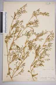 Coronopus squamatus herbarium specimen from Ponsanooth, VC1 West Cornwall in 1899 by Mr Allan Octavian Hume.