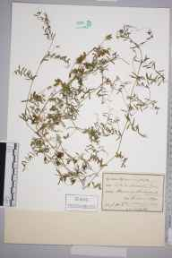 Vicia hirsuta herbarium specimen from Minehead, VC5 South Somerset in 1890 by Prof., Sir Jethro Justinian  Harris Teall (Dulwich College).