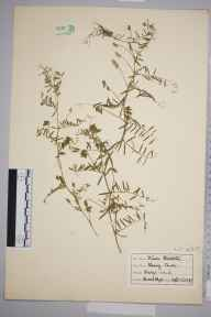 Vicia hirsuta herbarium specimen from Broad Clyst, VC3 South Devon in 1939.