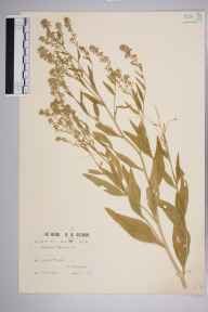Lepidium latifolium herbarium specimen from Guernsey, Grandes Rocque, VC113 Channel Islands in 1912 by Mr William Charles Barton.