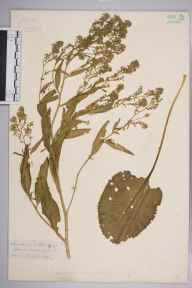 Lepidium latifolium herbarium specimen from Sandwich, VC15 East Kent in 1889 by Mr Arthur Bennett.
