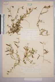 Vicia sativa herbarium specimen from Gomshall, VC17 Surrey in 1885 by Mr William Hadden Beeby.