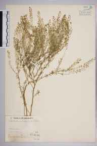 Lepidium ruderale herbarium specimen from Chidham, VC13 West Sussex in 1936 by Mr Job Edward Lousley.