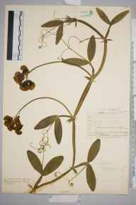 Lathyrus latifolius herbarium specimen from Norwood, VC17 Surrey in 1907 by William Henry Griffin.