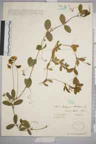 Lathyrus tuberosus herbarium specimen from Barry Docks, VC41 Glamorganshire in 1930 by Ronald Melville.