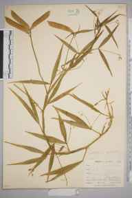 Lathyrus sylvestris herbarium specimen from Saint Anthony in Roseland, VC2 East Cornwall in 1899 by Mr Allan Octavian Hume.