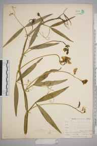 Lathyrus sylvestris herbarium specimen from Talland, VC2 East Cornwall in 1900 by Mr Allan Octavian Hume.
