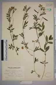Lathyrus linifolius herbarium specimen from Dormans, VC17 Surrey in 1922 by Mr Edward Charles Wallace.