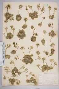 Draba aizoides herbarium specimen from Pennard Castle, VC41 Glamorganshire in 1905 by Mr Allan Octavian Hume.