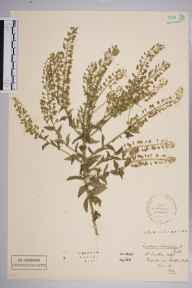 Lepidium heterophyllum herbarium specimen from Shortlands Station, VC16 West Kent in 1910 by Stafford Edwin Chandler.