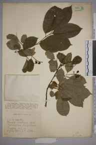 Prunus serotina herbarium specimen from Peper Harow, VC17 Surrey in 1925 by Mr Joseph Edward Little.