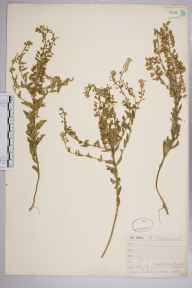 Lepidium heterophyllum herbarium specimen from Newtown, VC10 Isle of Wight in 1843 by Mr Frederick Townsend.