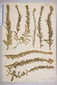 Lepidium hirtum herbarium specimen from Lizard, VC1 West Cornwall in 1899 by Mr Allan Octavian Hume.