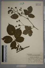 Rubus opacus herbarium specimen from Stowe, Hand Leasow Wood, VC39 Staffordshire in 1952 by Eric Smoothy Edees.