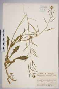 Diplotaxis muralis herbarium specimen from Fort Cumberland, VC11 South Hampshire in 1929 by Mr Job Edward Lousley.
