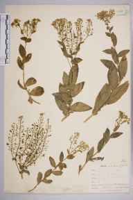 Lepidium draba herbarium specimen from Par Harbour, VC2 East Cornwall in 1901 by Mr Allan Octavian Hume.