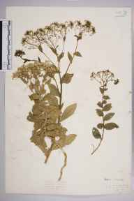 Lepidium draba herbarium specimen from Leighton Buzzard, VC30 Bedfordshire in 1923 by Mr Isaac A Helsby.