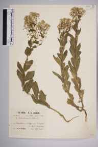 Lepidium draba herbarium specimen from Roedean, VC14 East Sussex in 1930 by Richard Barker Ullman.