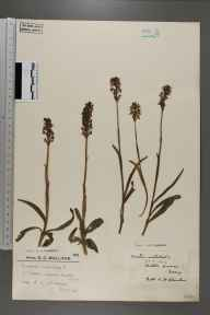Orchis ustulata herbarium specimen from Walton Downs, VC17 Surrey in 1924 by Mr Edward Charles Wallace.