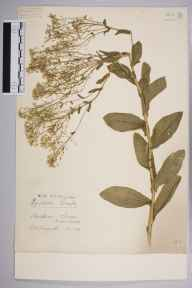 Lepidium draba herbarium specimen from Chiswick, Duke's Meadows, VC21 Middlesex in 1939 by Edward Benedict Bangerter.