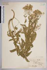 Lepidium draba herbarium specimen from Mitcham Common, VC17 Surrey in 1922 by S A Chambers.