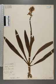 Orchis mascula herbarium specimen from Tilsworth, VC30 Bedfordshire in 1896 by S A Chambers.