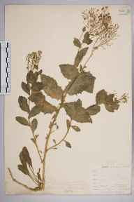 Lepidium draba herbarium specimen from Catford, VC16 West Kent in 1901 by William Henry Griffin.