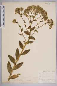 Lepidium draba herbarium specimen from Broadstairs, VC15 East Kent in 1902 by W Armstrong.