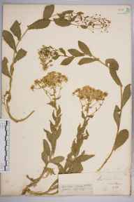Lepidium draba herbarium specimen from Guernsey, VC113 Channel Islands in 1841 by Mr James Backhouse.