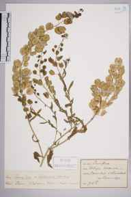 Thlaspi arvense herbarium specimen from Minehead,Greenaleigh, VC5 South Somerset in 1890 by Prof., Sir Jethro Justinian  Harris Teall (Dulwich College).
