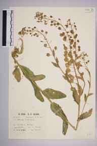 Thlaspi arvense herbarium specimen from Loddon Bridge, VC22 Berkshire in 1931 by Richard Barker Ullman.