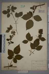 Rubus plicatus herbarium specimen from Tunbridge Wells, VC16 West Kent in 1937 by William Charles Richard Watson.