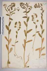 Thlaspi arvense herbarium specimen from Darenth, VC16 West Kent in 1903 by William Henry Griffin.